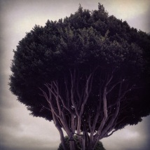 Santa Barbara trees are amazing!