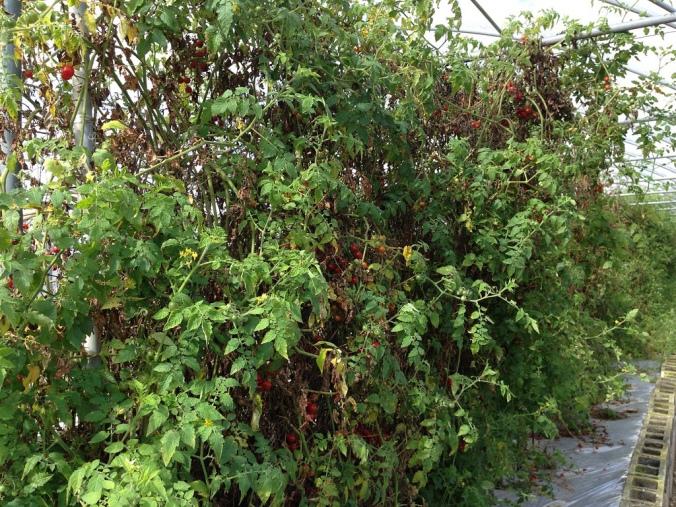 Everglades Tomato_Borek2