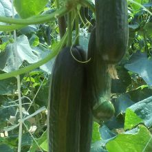 Cucumbers at Verde farm