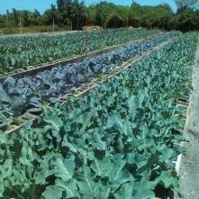 More kale growing at Teena's Pride, Homestead