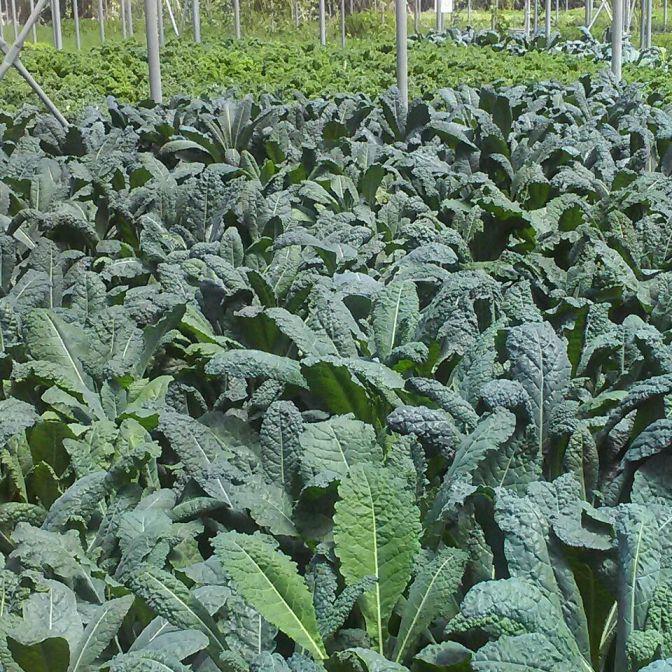 Tuscan Kale growing at Teena's Pride, Homestead