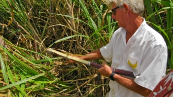 Cane harvest demo at JM Rhum.