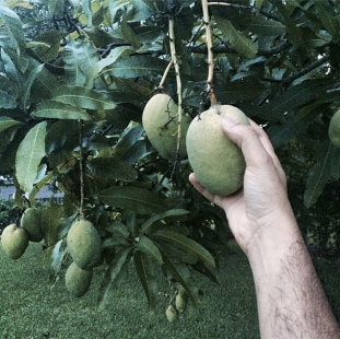 Chef Niven's backyard mangos, the first (green) harvest