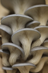 Sublicious Farm, Blue Oyster Mushroom