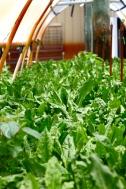 Mr. Green Deans Veggie Garden, Green Sorrel
