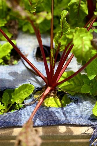Mr. Green Deans Veggie Garden, Red Beet
