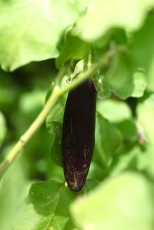 Mr. Green Deans Veggie Garden, Eggplant