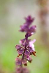 Bee Heaven Farms, Basil Flower