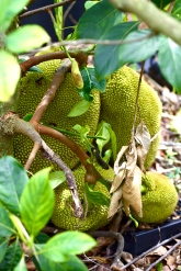 Bee Heaven Farm, Jackfruit