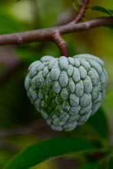 Corona Farm, Sugar Apple