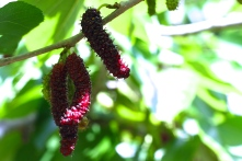 Pencil mulberries