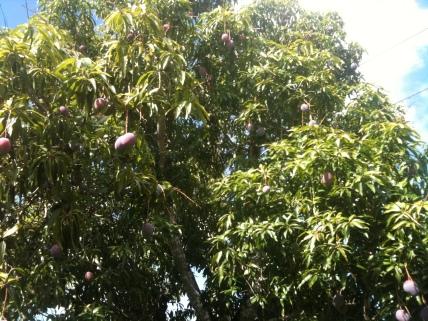 Valerie's Cherwin Mango Tree