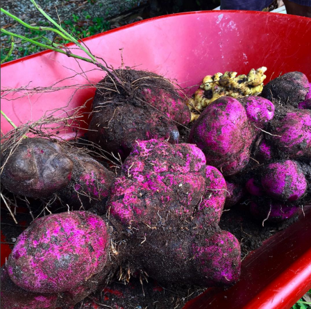 Rataru, Indian purple sweet potato