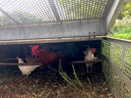 Chicken tractors are moved every 3 days so the grass can regenerate. This way the rooster in the hen tractor can enjoy the natural ground.