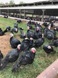 Heritage black turkeys.